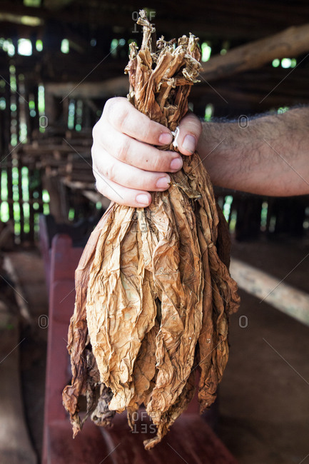 Person holding bunch of dried tobacco leaves