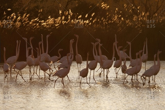 Greater flamingoes flock in warm light