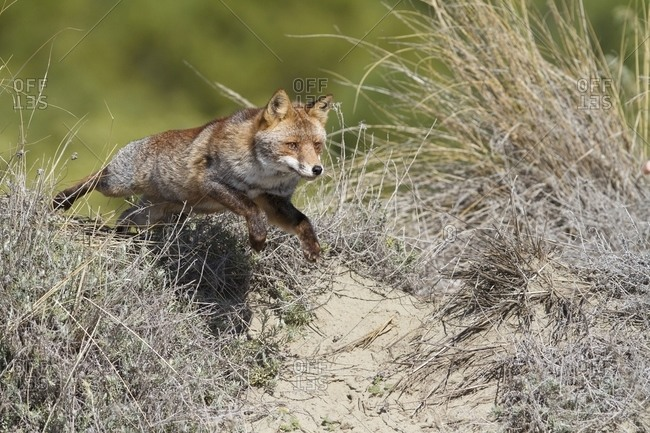 Red fox jumping on the beach