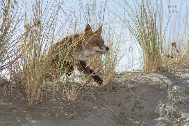 Red fox crossing a sand dune