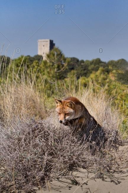 Red fox jumping through brush
