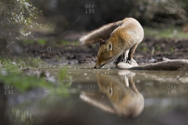 Red fox reflection while drinking