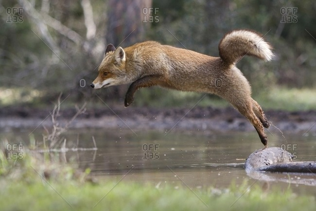 Red fox jumping over a stream