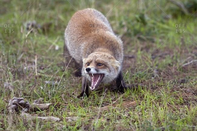 Red fox beginning to court a mate