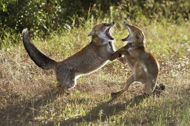 Red fox in courtship