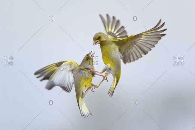 Greenfinches battling