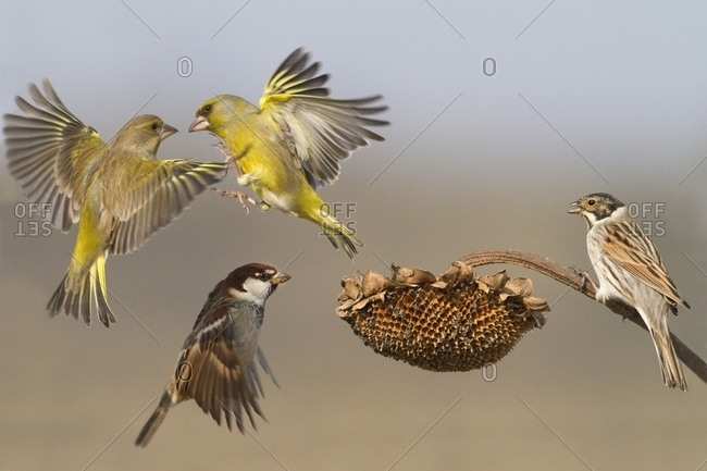 Greenfinches battling while other birds look on