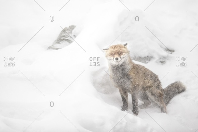 Red fox during a snowstorm in gran paradiso national park