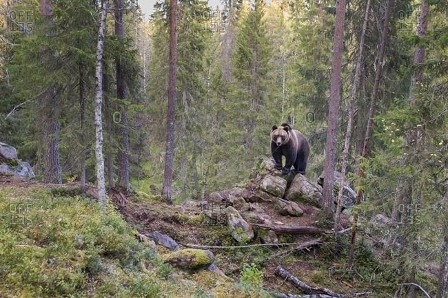 A wild brown bear in the boreal forest