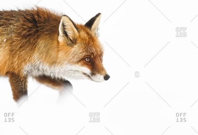 Red fox following tracks