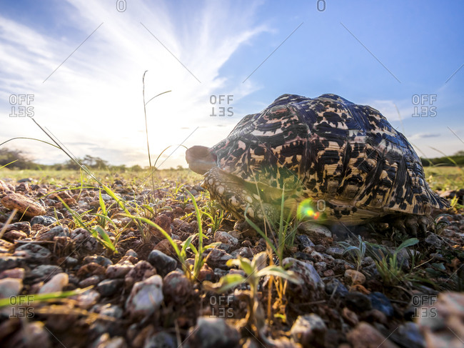 Leopard tortoise at backlight
