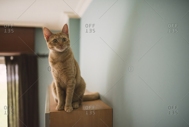 Portrait of starring tabby cat sitting on top of cabinet at home