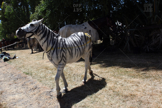 A horse painted as a zebra