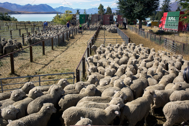 Sheep in corrals in New Zealand