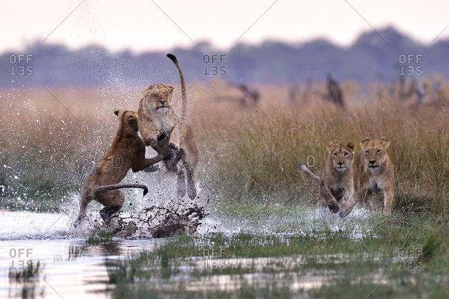 Pride of lions bonding and playing in the Savuti Marsh, Chobe National Park, Botswana