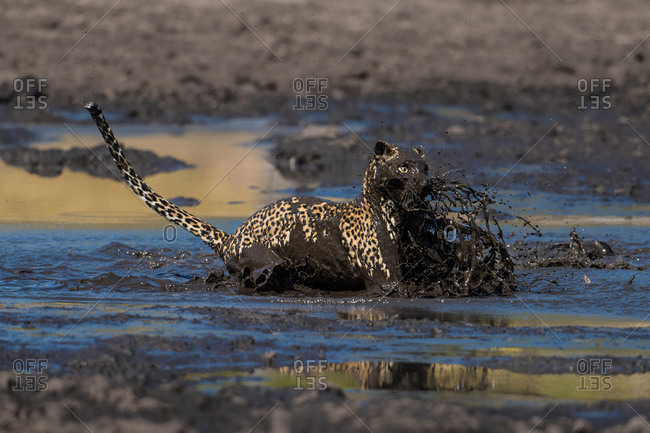 A leopard leaping into a muddy waterhole to catch a fish in the Savuti Channel, Botswana