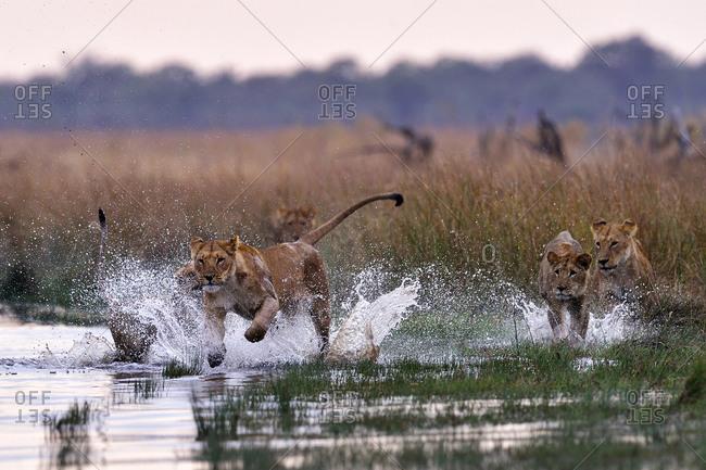 Pride of lions playing in the Savuti Marsh, Chobe National Park, Botswana