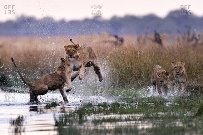 Lions bonding and playing in the Savuti Marsh, Chobe National Park, Botswana