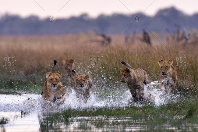 Pride of lions running in the Savuti Marsh, Chobe National Park, Botswana