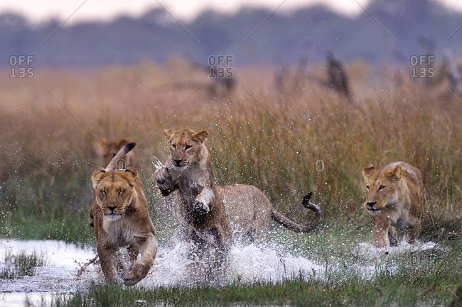 Pride of lions bonding in the Savuti Marsh, Chobe National Park, Botswana