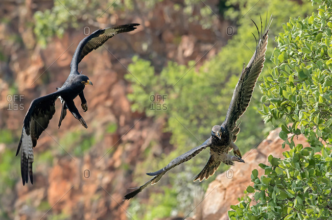 Ferocious aggression period of a black eagle chasing a fledgling from the nest