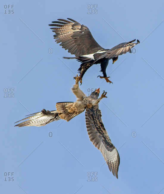 Ferocious aggression period of a black eagle attacking a fledgling from the nest