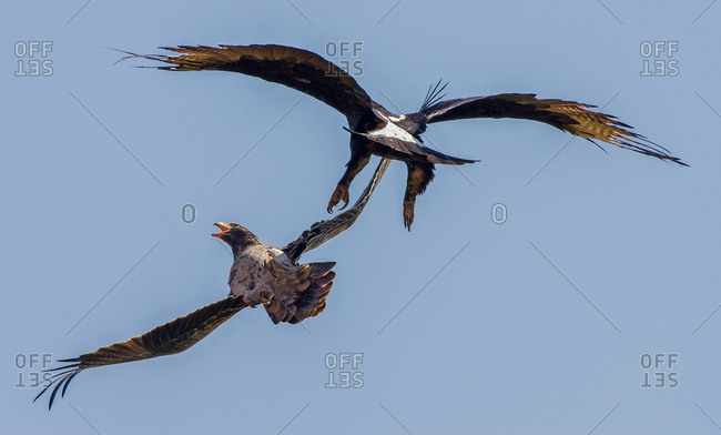 Aggressive black eagle chasing a fledgling from the nest