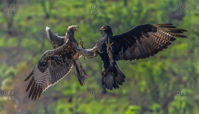 Ferocious black eagle attacking a fledgling from the nest