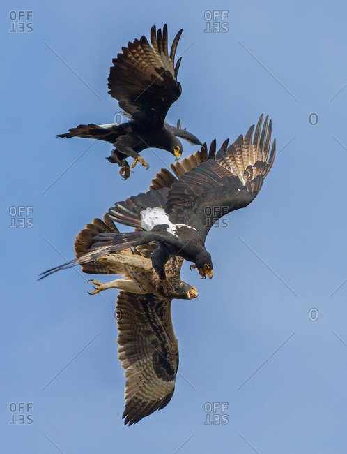 Black eagle mating pair, chasing the fledgling from the nest