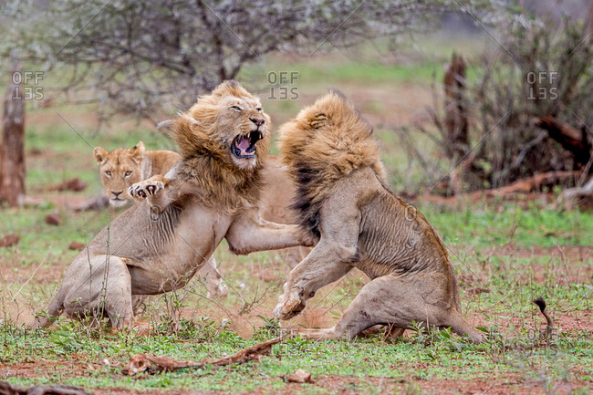 Two male lions fight over a lioness in the Kruger National Park