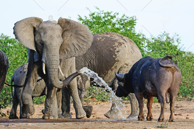 An irritated elephant attempts to chase off a buffalo bull by spraying him with water, Kruger National Park