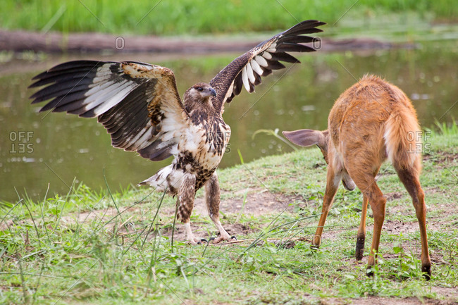 Fish eagle attempting to scare off a bushbuck in the Kruger National Park