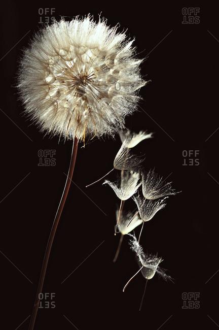 Dandelion seeds falling from the dandelion head