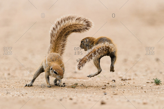 Two squirrels embraced in a quarrel in the Kgalagadi Transfrontier Park