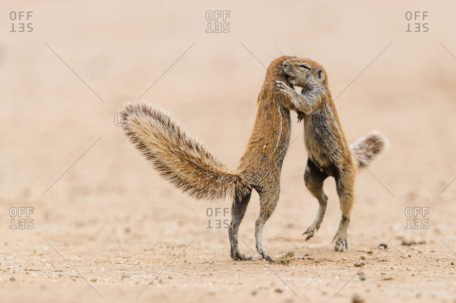 Two squirrels quarrel in the Kgalagadi Transfrontier Park