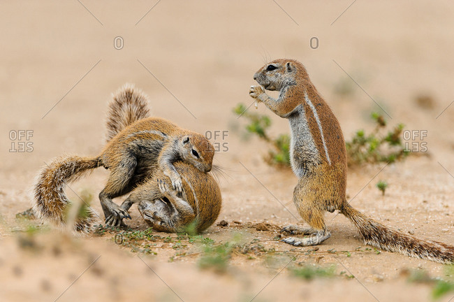 Two squirrels quarrel while another watches in the Kgalagadi Transfrontier Park