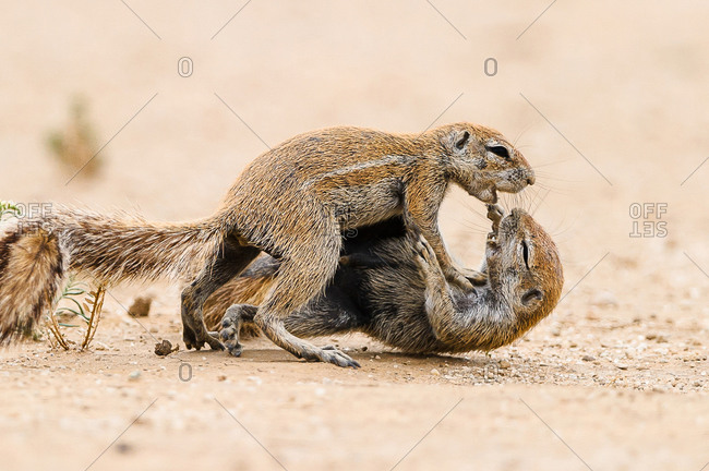 Two squirrels fighting in the Kgalagadi Transfrontier Park