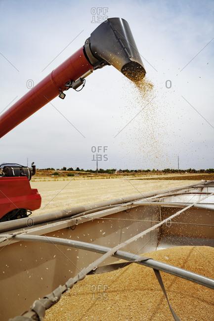 Grain being harvest with machine