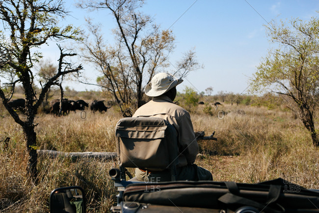 Tracker in bush on safari, buffalo in background, Kruger National Park, South Africa