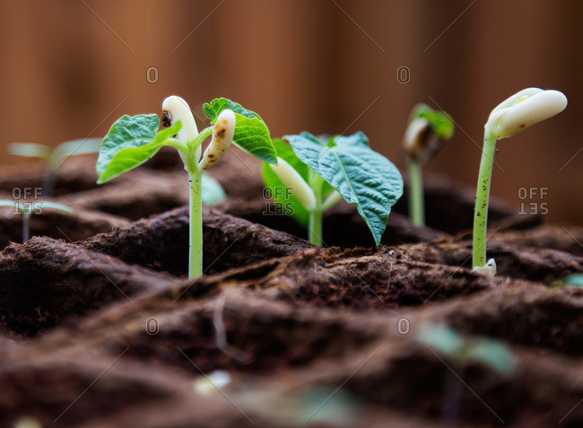 Spouting seedlings in plantable pots