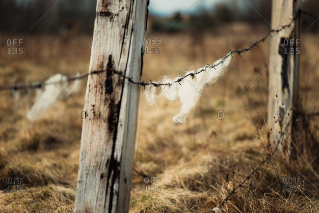 Wool caught on a barbed wire fence