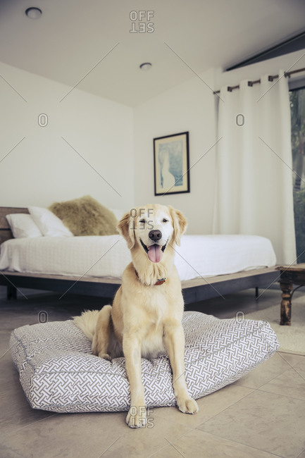 Yellow lab sitting happily on a dog bed in a bedroom