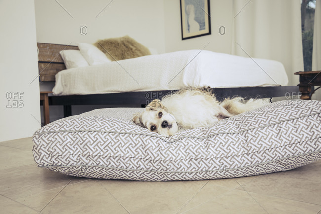 White fluffy dog lying on a dog bed in a bedroom