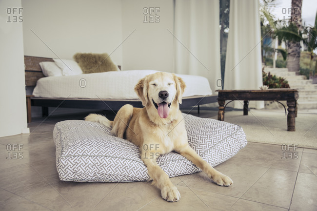Yellow lab lying on a dog cushion in a bedroom