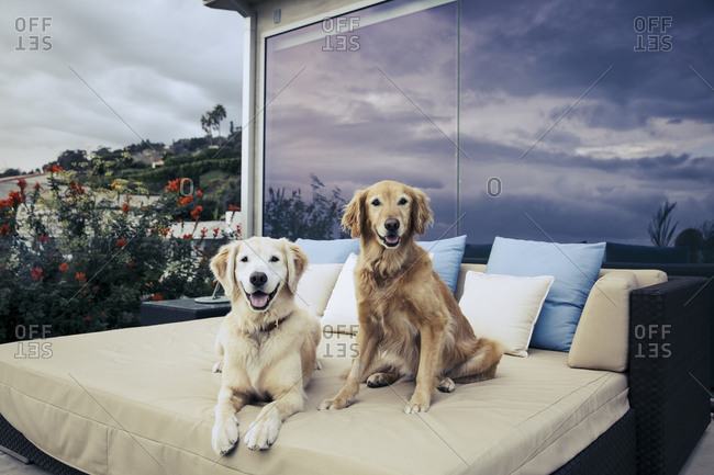 Two yellow Labradors sitting on an outdoor day bed