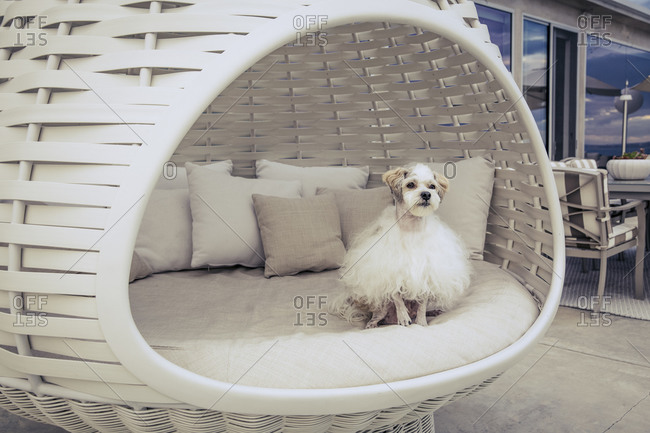 Fluffy white dog in an oversized wicker pod chair