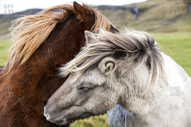 Two horses in close up, Iceland