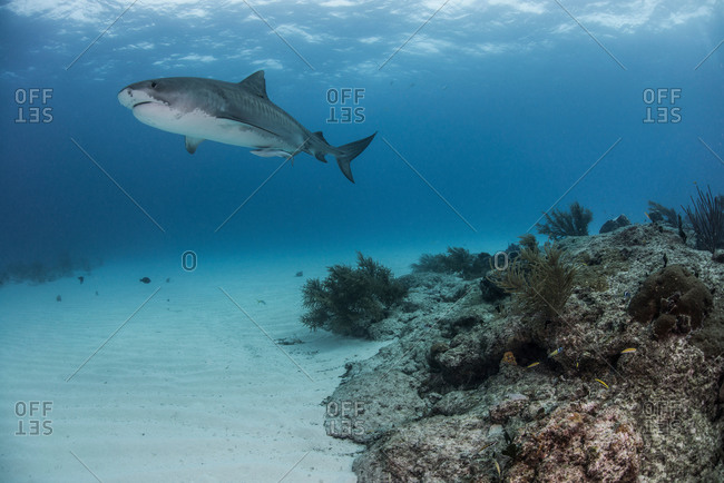 Tiger shark (galeocerdo cuvier) swimming by reef in the north Bahamas, Caribbean