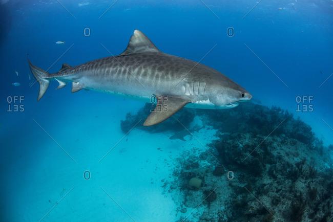 Tiger shark (galeocerdo cuvier) patrolling reef in the north Bahamas, Caribbean