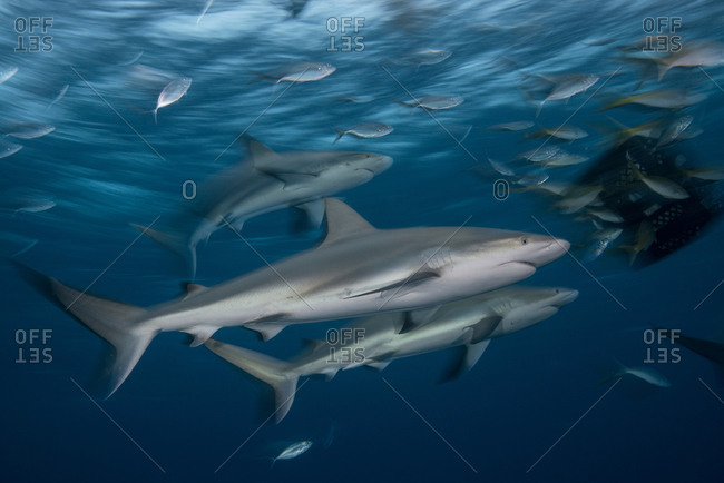 Young reef sharks are attracted to a bait box at dusk, Bahamas, Caribbean